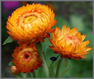 Цветочный-гороскоп-33